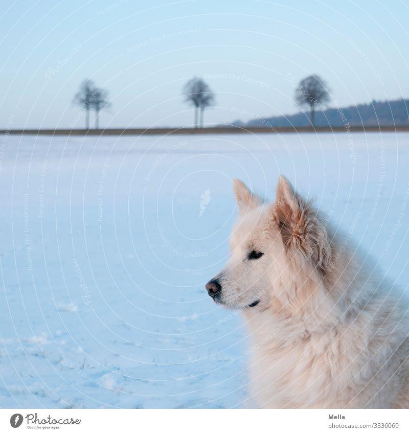 Eiszeit | Eiskalter Hund Umwelt Natur Landschaft Winter Wetter Frost Schnee Wiese Feld Tier Haustier 1 beobachten Blick warten blau weiß achtsam Wachsamkeit