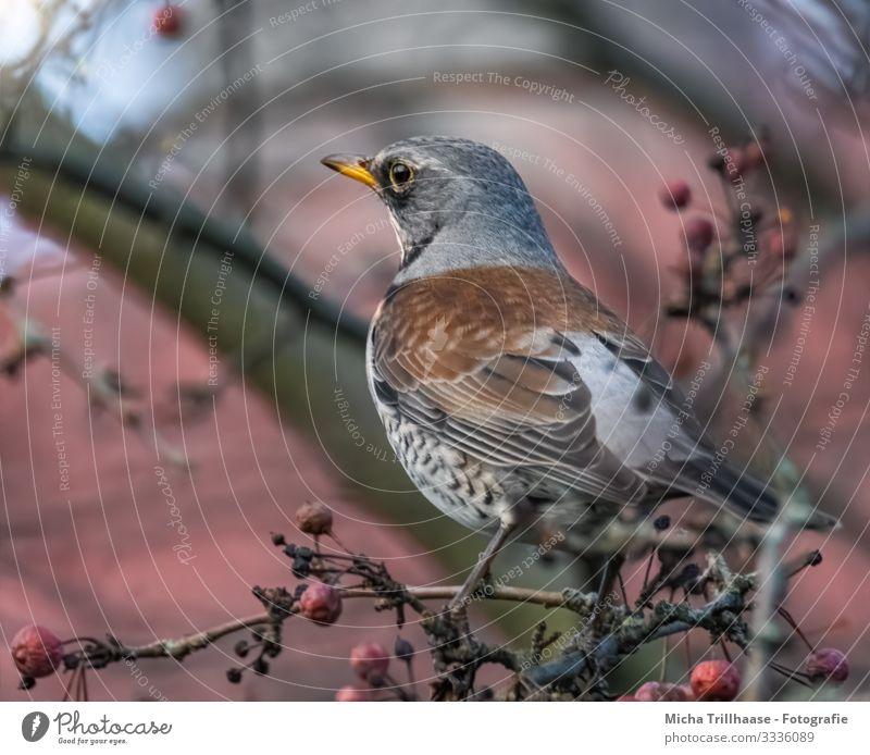 Drossel im Baum Natur Tier Himmel Sonnenlicht Schönes Wetter Zweige u. Äste Wildtier Vogel Tiergesicht Flügel Krallen Wacholderdrossel Kopf Schnabel Auge Feder