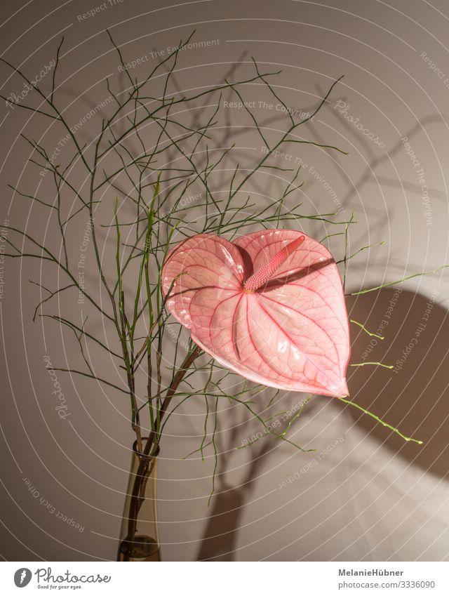 Anthurium Blume Anturium rosa Blüte