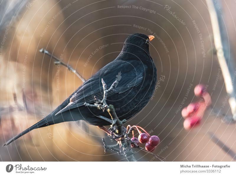 Amsel im Sonnenschein Natur Tier Sonnenlicht Schönes Wetter Baum Beeren Zweige u. Äste Wildtier Vogel Tiergesicht Flügel Krallen Schnabel Auge Kopf Feder 1