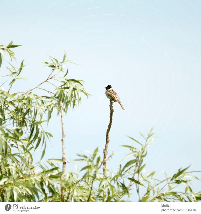 Vogelsommer | Rohrammer auf Ast Tier Natur Himmel Weide Baum Außenaufnahme 1 Menschenleer Zweig natürlich klein Umwelt Pflanze Textfreiraum oben Farbfoto