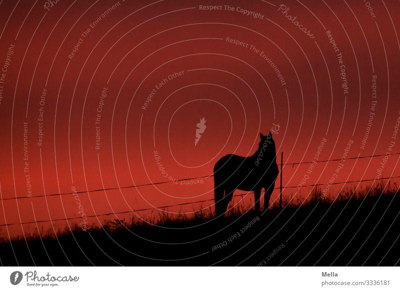 Sonnenuntergang mit Pferd Tier Schatten Schattenspiel Silhouette Country countryside countryside scenery rot orange landscape Landschaft Landleben ländlich
