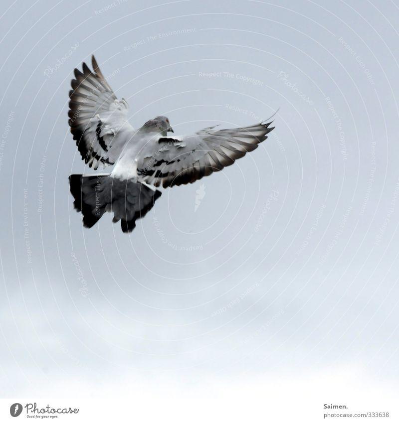 landeanflug Tier Wildtier Vogel Taube 1 fliegen Freiheit Feder Flügel Himmel Farbfoto Gedeckte Farben Tag Vogelperspektive