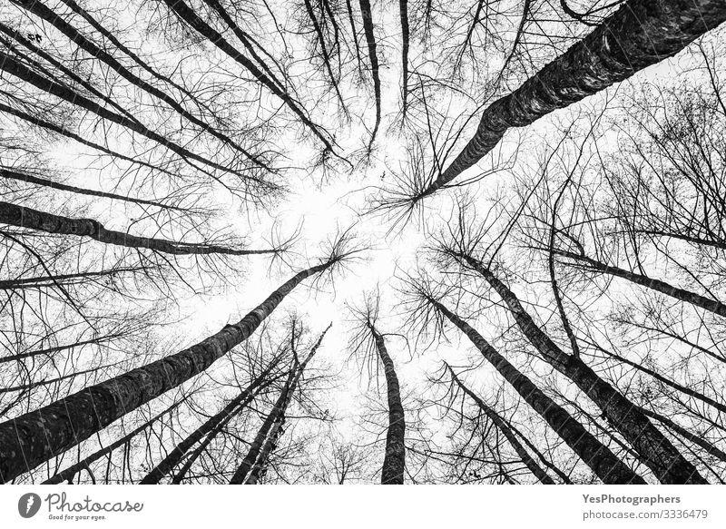 Baumwipfel, die nach oben schauen. Abstrakte Waldlandschaft. Blattlose Bäume Umwelt Natur Landschaft Park natürlich Perspektive Symmetrie Hintergrund