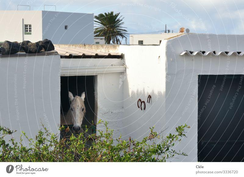 Pferdestall Reiten Haus Landwirtschaft Forstwirtschaft Umwelt Natur Wetter Pflanze Sträucher Palme Lanzarote Spanien Dorf Stall Mauer Wand Tier Nutztier