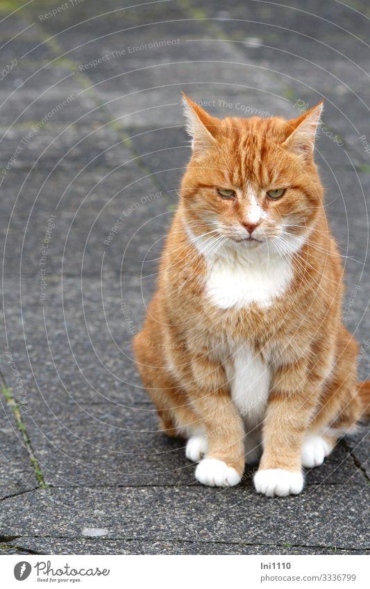 Roter Kater sitzt scheinbar träumend auf Bürgersteig Katze Tiergesicht Fell Pfote 1 braun grau orange rot weiß Inselbewohner Katzenkopf Bildausschnitt
