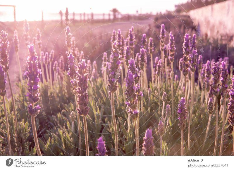Lavendel Feld Umwelt Natur Landschaft Pflanze Tier Sonnenlicht Blume Gras Blüte Nutzpflanze Wildpflanze Lavendelfeld Garten authentisch Duft Gesundheit glänzend