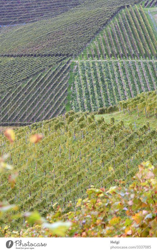 Weinberge in grafischer Anordnung Umwelt Natur Landschaft Pflanze Herbst Schönes Wetter Blatt Berge u. Gebirge Schwarzwald Linie stehen Wachstum ästhetisch