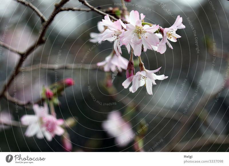 rosa Blüten an einem Zweig im Frühling Umwelt Natur Pflanze Sträucher Blütenknospen Park Blühend Wachstum ästhetisch schön natürlich grau Stimmung