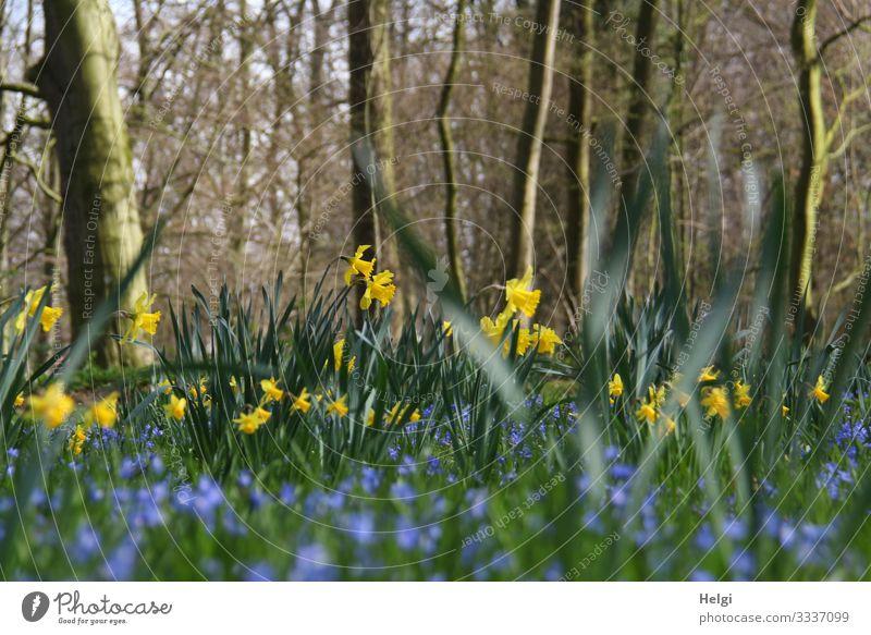 gelbe Narzissen und blaue Blumen wachsen in einem Park unter Bäumen Umwelt Natur Landschaft Pflanze Frühling Schönes Wetter Baum Blatt Blüte Frühblüher