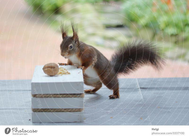 Eichhörnchen sucht Futter auf der Terrasse Umwelt Natur Pflanze Tier Winter Garten Wildtier 1 Walnuss Tisch festhalten Blick stehen authentisch außergewöhnlich