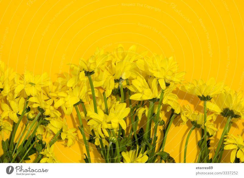 Gelber Chrysanthemenstrauß schön Beautyfotografie Blume Überstrahlung Blüte Blumenstrauß Ast Blütenknospen Kirsche Gänseblümchen Dekoration & Verzierung geblümt