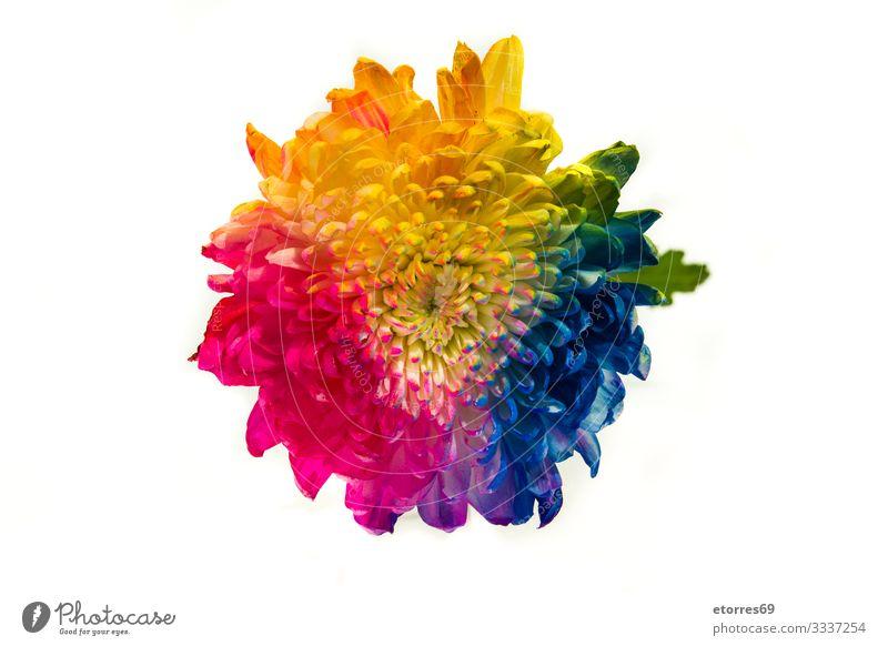 Mehrfarbige Blume aromatisch Hintergrund neutral schön blau Chrysantheme Farbe mehrfarbig Textfreiraum Gänseblümchen Dekoration & Verzierung Pflanze geblümt