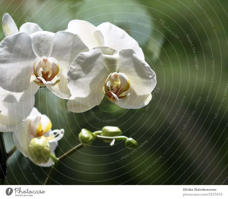 Weiße Orchideenblüte vor Fensterscheibe Natur Pflanze Frühling Blume Blüte Topfpflanze exotisch Blühend Duft stehen leuchten Wachstum ästhetisch außergewöhnlich