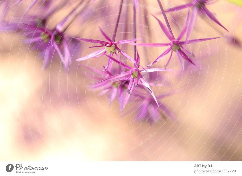 Sterne der Natur Pflanze Frühling Sommer Blume Garten gelb grün violett rosa Farbfoto Außenaufnahme Nahaufnahme Detailaufnahme Makroaufnahme Textfreiraum unten
