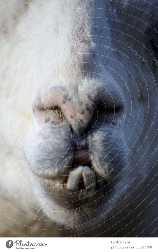 Nachträglich einen dicken Kuss. HAPPY BIRTHDAY PHOTOCASE ZUM 19. GEBURTSTAG! Lama lamas Kussmund Zähne Zähne zeigen Nüstern Maul Schnauze Tier Tierporträt