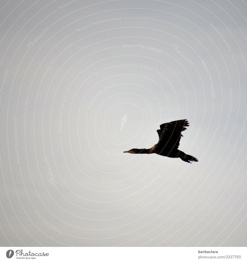 Kormoran Himmel Vogel 1 Tier fliegen elegant hoch oben blau grau Freiheit Klima Ferne Farbfoto Gedeckte Farben Außenaufnahme Muster Menschenleer