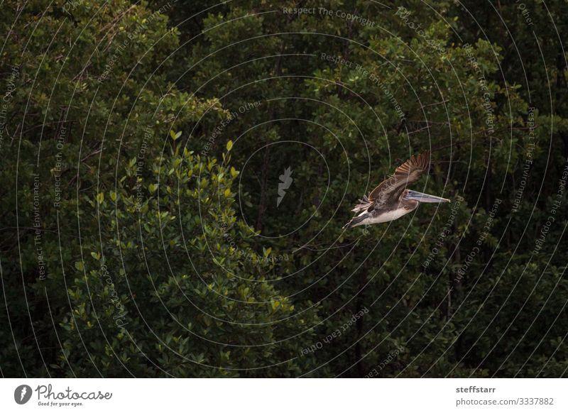 Fliegender weiblicher brauner Pelikan Pelecanus occidentalis Strand Meer Frau Erwachsene Natur Tier Wildtier Vogel Flügel 1 fliegen grün Brauner Pelikan