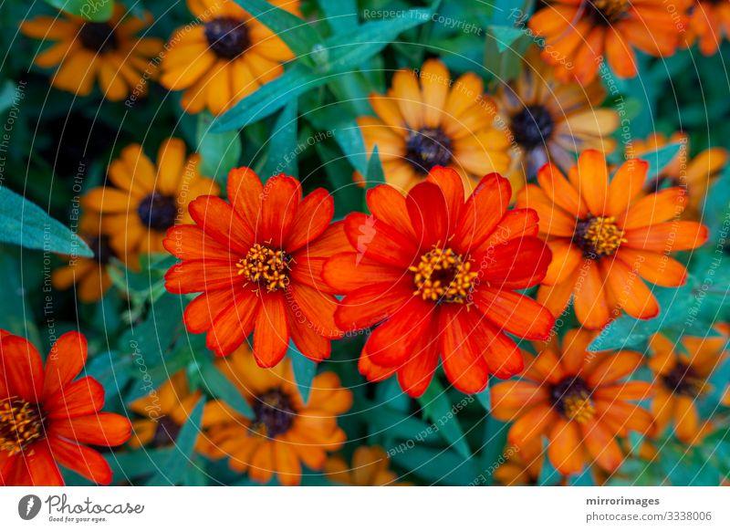 ZINNIA, DWARF, elegante Orangenblüten in einem Garten blühen schön Menschengruppe Natur Pflanze Blume Blüte Blühend frisch hell natürlich braun mehrfarbig grün