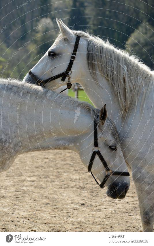 LIPIZZANER LOVE elegant Reiten Tier Pferd Tierpaar weiß Glück Zufriedenheit Liebe Tierliebe Verliebtheit Romantik Partnerschaft Gefühle Lipizzaner Pferdezucht