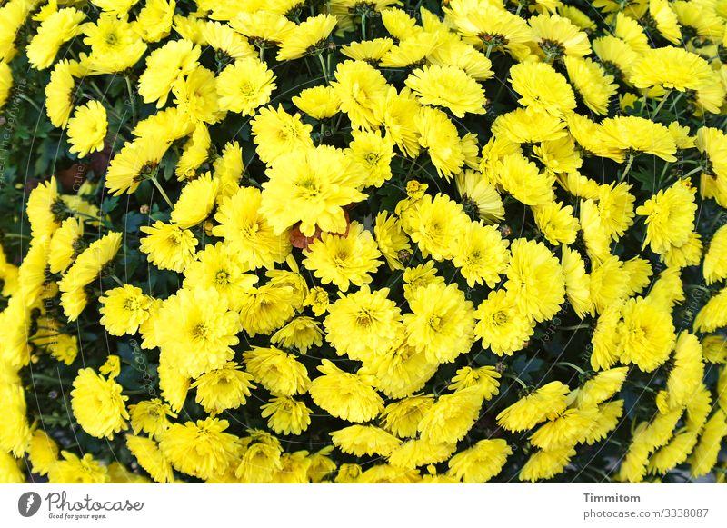 Ein paar Blümchen zum Geburtstag! Blumen Blütenpflanze gelb schwarz Pflanze Natur Blühend Gruß Freude Glückwünsche