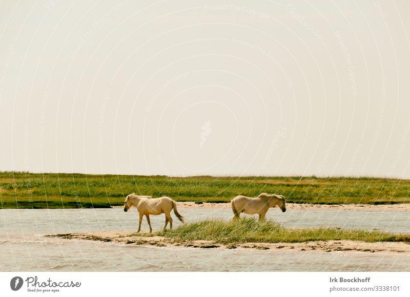 2 weiße Pferde stehen dicht am Wasser voneinander abgewandt Ferien & Urlaub & Reisen Tourismus Ausflug Sommer Strand Meer Natur Landschaft Himmel