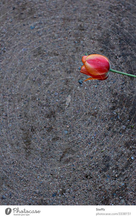 Achtsamkeit Umwelt Natur Frühling Pflanze Blume Tulpe Blüte Gartenblume Gartenpflanzen Tulpenblüte Deutschland Fußweg Blühend Duft authentisch natürlich schön