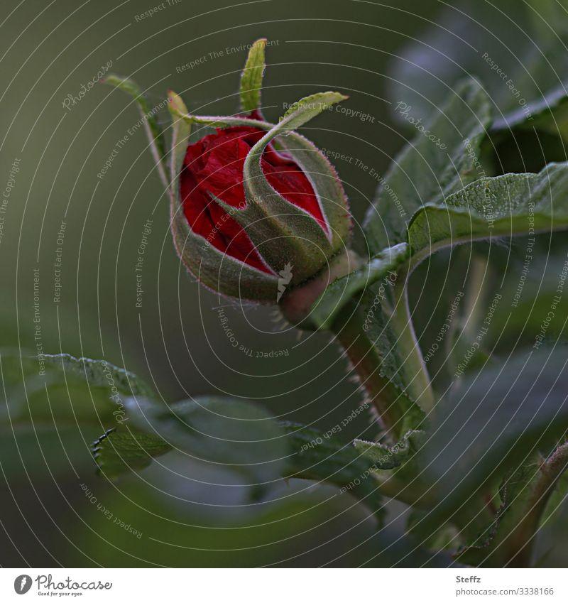 rosa misteriosa Natur Sommer Pflanze schön grün rot Blume dunkel Umwelt Blüte natürlich Deutschland Garten Europa Romantik Blühend