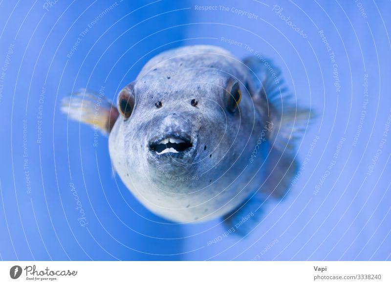 Fugu-Fische als Natur unter Wasser Meeresfrüchte exotisch schön Leben Freizeit & Hobby tauchen Tier Korallenriff Insel Haifisch Tiergesicht Aquarium 1