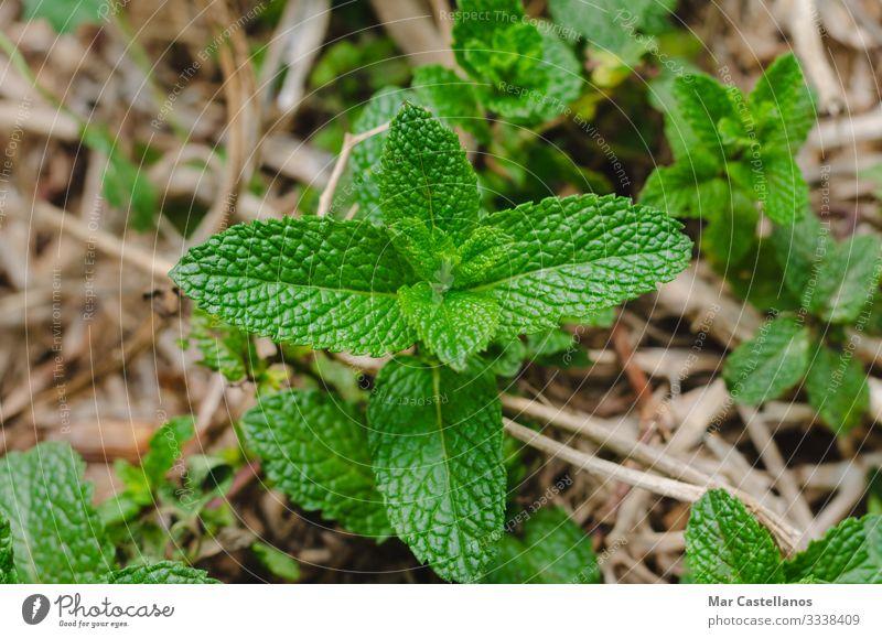 Minzpflanze mit Blättern. Kräuter & Gewürze Gesundheitswesen Alternativmedizin Wellness Leben harmonisch Duft Garten Natur Pflanze Blatt Topfpflanze frisch