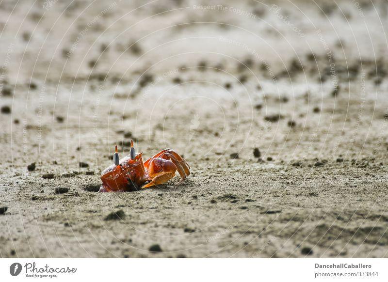 Herr Krabbe Natur Meer rot Einsamkeit Tier Strand Umwelt Leben Küste Sand elegant einzeln beobachten Lebewesen Wachsamkeit Loch