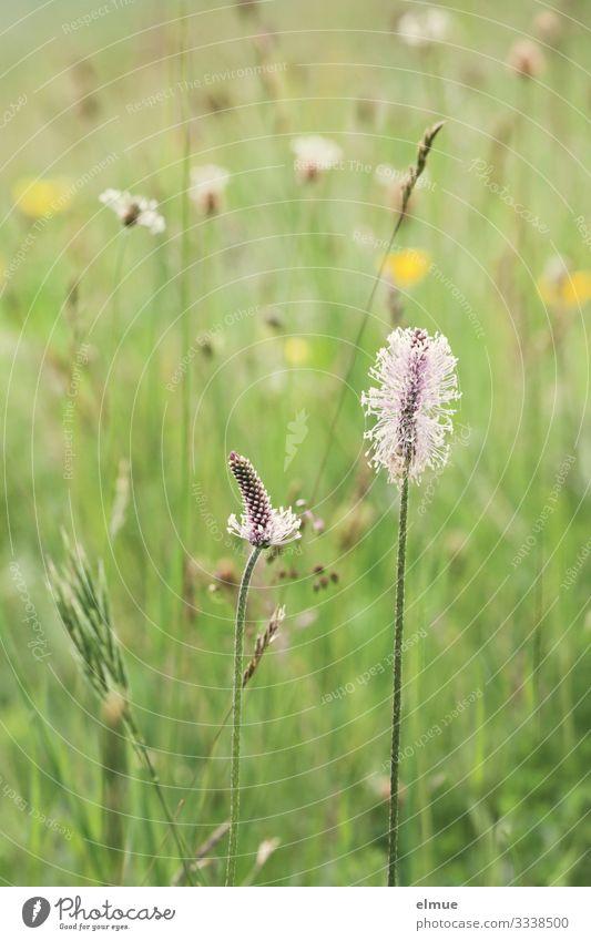 Ökowiese Natur Pflanze Sommer Schönes Wetter Gras Blüte Wildpflanze Wiese Blühend grün Glück Zufriedenheit Frühlingsgefühle Romantik Sehnsucht Abenteuer bizarr