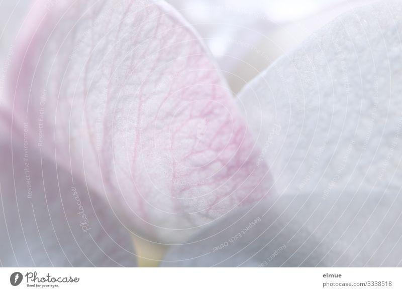 Blütenzauber Natur Pflanze Frühling Schönes Wetter Baum Apfelbaum Apfelblüte Blütenblatt Blattadern Blütentraum Blühend hell rosa weiß Gefühle Glück