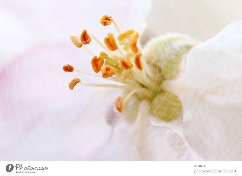 Apfelblüte Frühling Baum Blüte Apfelbaum Stempel Fruchtstand Staubfäden Samen Blütenblatt Blühend Erotik hell klein nah orange rosa Gefühle Frühlingsgefühle