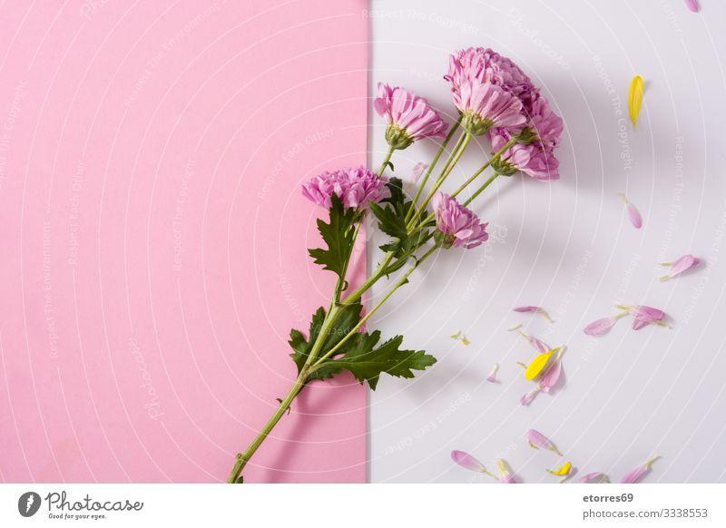 Violette Chrysantheme und Blütenblätter schön Beautyfotografie Blume Überstrahlung Blumenstrauß Ast Blütenknospen Kirsche Gänseblümchen Dekoration & Verzierung