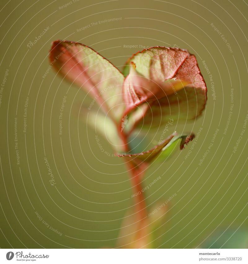 Frischling Umwelt Natur Pflanze Winter Sträucher Blatt Grünpflanze Wildpflanze dünn authentisch frisch hoch klein nah natürlich trocken Wärme wild grün rot