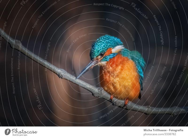 Eisvogel auf einem Ast Natur blau Baum Tier Umwelt Auge natürlich orange Vogel braun Kopf glänzend Wildtier Feder Schönes Wetter warten