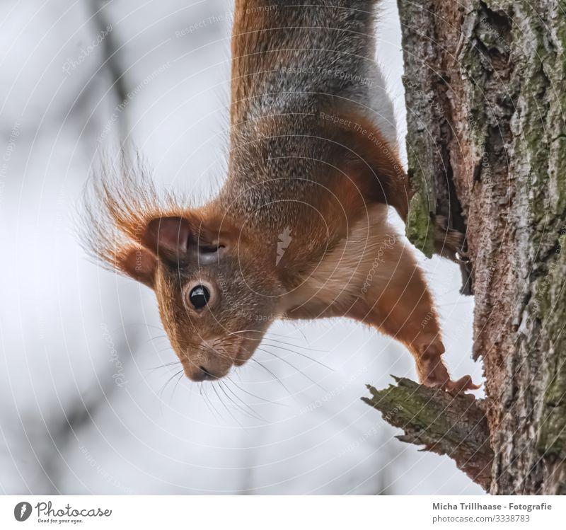 Neugieriges Eichhörnchen Natur Tier Himmel Sonnenlicht Schönes Wetter Baum Wildtier Tiergesicht Fell Krallen Pfote Kopf Auge Nase Maul Ohr 1 Blick nah natürlich