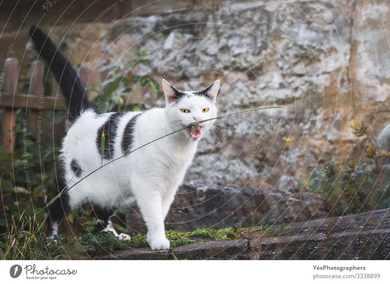 Katze beißt einen Grasfaden. Gelbaugen-Katze starrt. Lustige Katze Landschaft Haustier 1 Tier lustig natürlich verrückt beißend Katzenbiss böse Augen