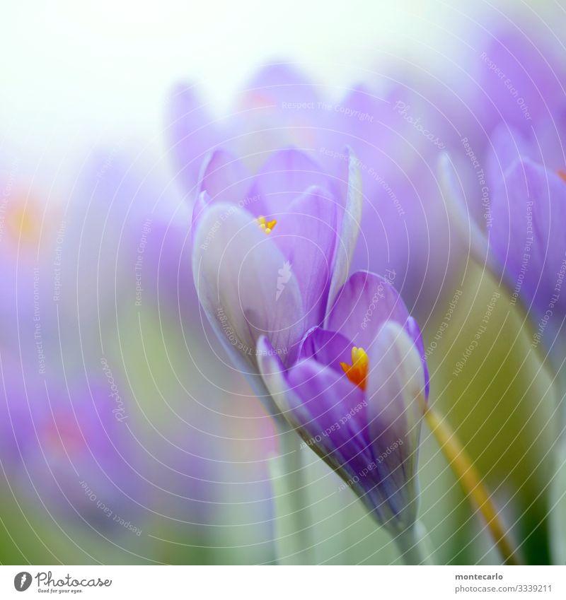 Alle Jahre wieder ... Umwelt Natur Pflanze Frühling Blatt Blüte Grünpflanze Wildpflanze Krokusse authentisch frisch schön natürlich weich grün violett