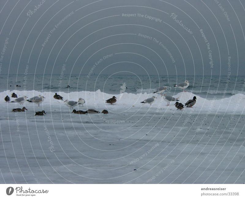 Frierende Vögel Möwe Schlamm frieren kalt Meer trüb schlechtes Wetter grau Wellen Vogel Tier Ente Wasser Eis Schnee Frost Wolken