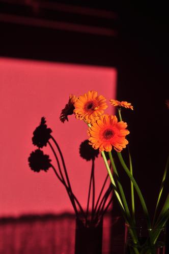 Shadow on the wall - Gerbera Pflanze Blumenstrauß Blühend ästhetisch authentisch Freundlichkeit frisch einzigartig grün orange rosa Romantik schön elegant Farbe