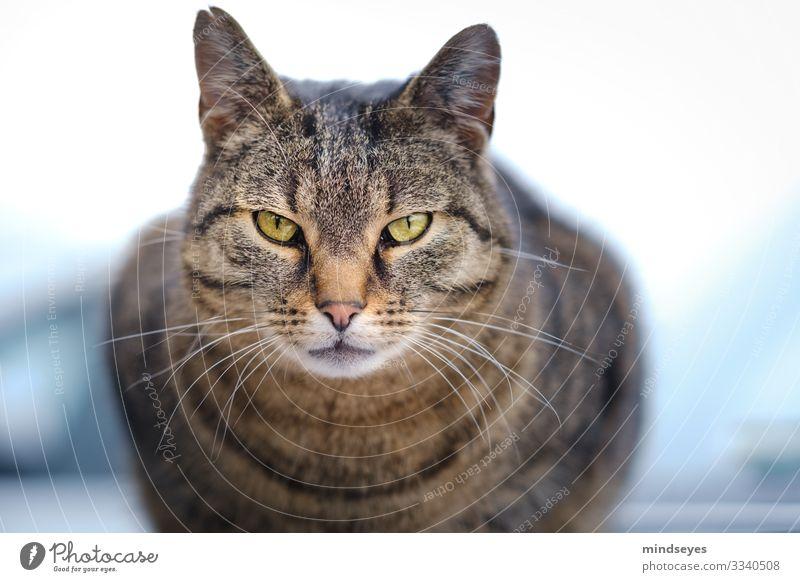 Dem Kater in die Augen schauen Bauernhof Tier Haustier Katze 1 beobachten Blick Aggression bedrohlich Neugier Tierliebe Selbstbeherrschung Hochmut Stolz eitel