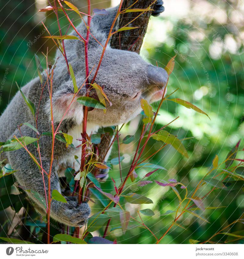 Baumbewohner mag Eukalyptus Wärme Eukalyptusbaum Blatt Koala 1 festhalten authentisch exotisch kuschlig oben Wachsamkeit Inspiration Sinnesorgane Fressen