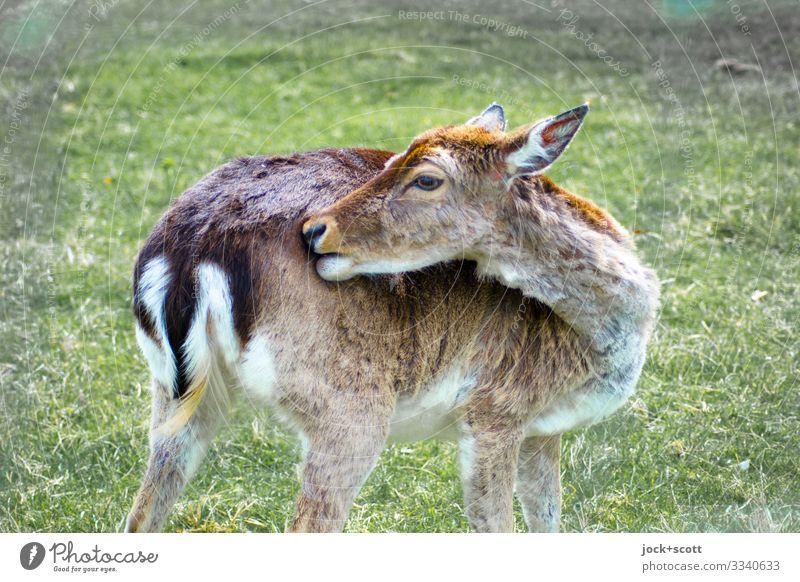 Wildtier des letzten Jahres Wiese Tiergesicht Reh 1 authentisch natürlich braun Wachsamkeit gewissenhaft Gelassenheit Körperpflege Mittelpunkt Sinnesorgane