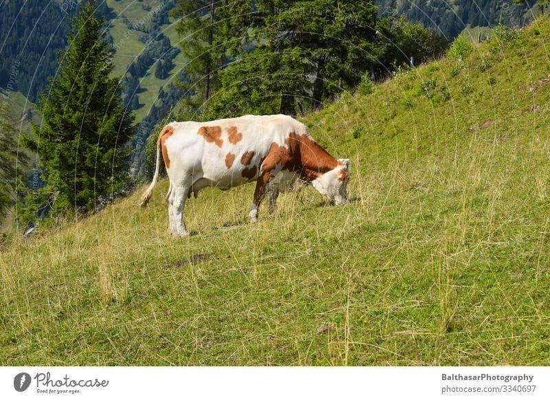 Kuh auf Wiese (in den Bergen) Ferien & Urlaub & Reisen Ausflug Freiheit Sommer Berge u. Gebirge wandern Umwelt Natur Landschaft Sonnenlicht Wetter