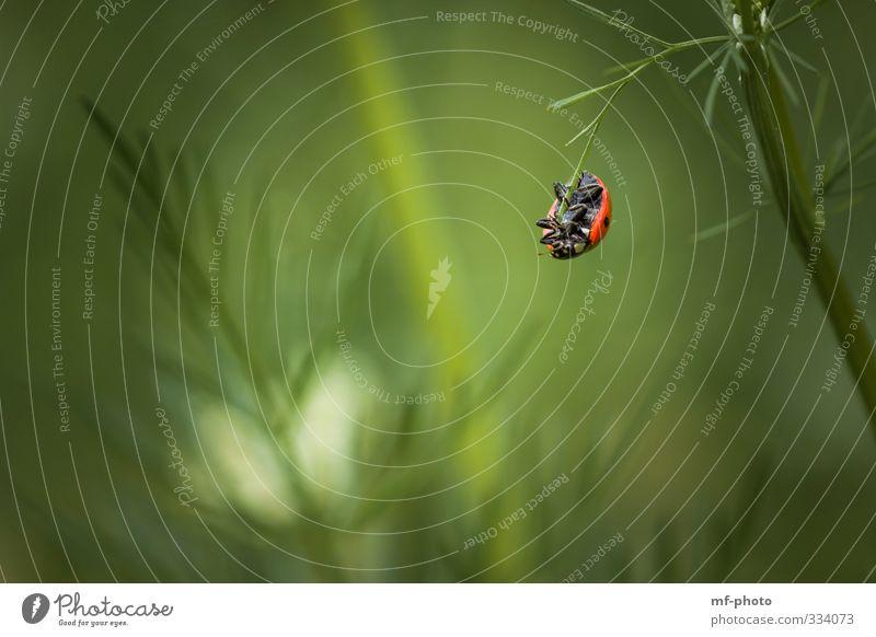 Was mache ich denn jetzt nur? Natur Pflanze Tier Frühling Marienkäfer hängen schaukeln grün rot Farbfoto Außenaufnahme Menschenleer Tierporträt
