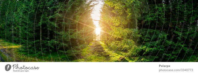 Grüne Waldpanoramalandschaft mit Sonnenlicht schön Sommer Umwelt Natur Landschaft Pflanze Baum Gras Moos Blatt Park Wege & Pfade natürlich wild grün Kiefer