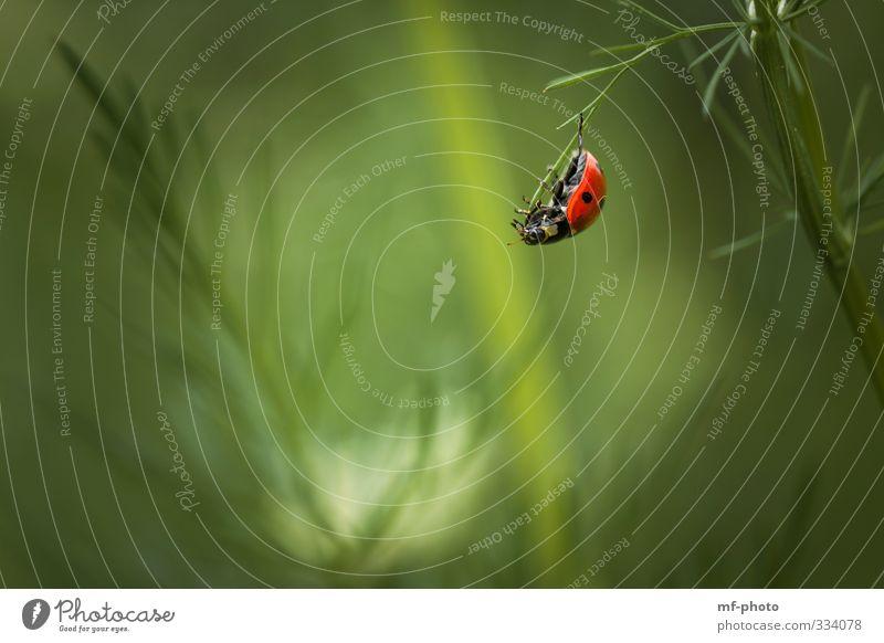 Freeclimber Natur Pflanze Tier Frühling Käfer Marienkäfer 1 grün rot Farbfoto Außenaufnahme Makroaufnahme Menschenleer