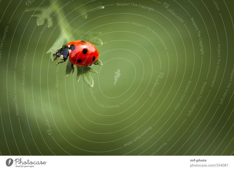 Balance halten... Natur Frühling Marienkäfer grün rot Farbfoto Makroaufnahme